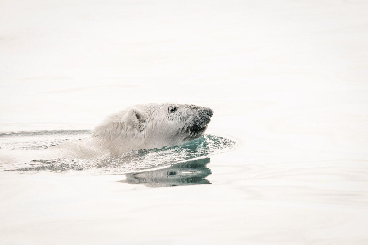Polar bear swimming in the flat sea.