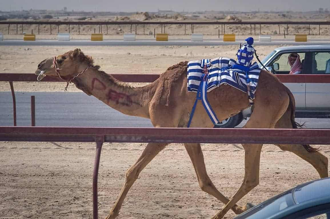 camel racing with a robot jockey dressed in blue and white stripes. exciting and unusual things to do in kuwait.