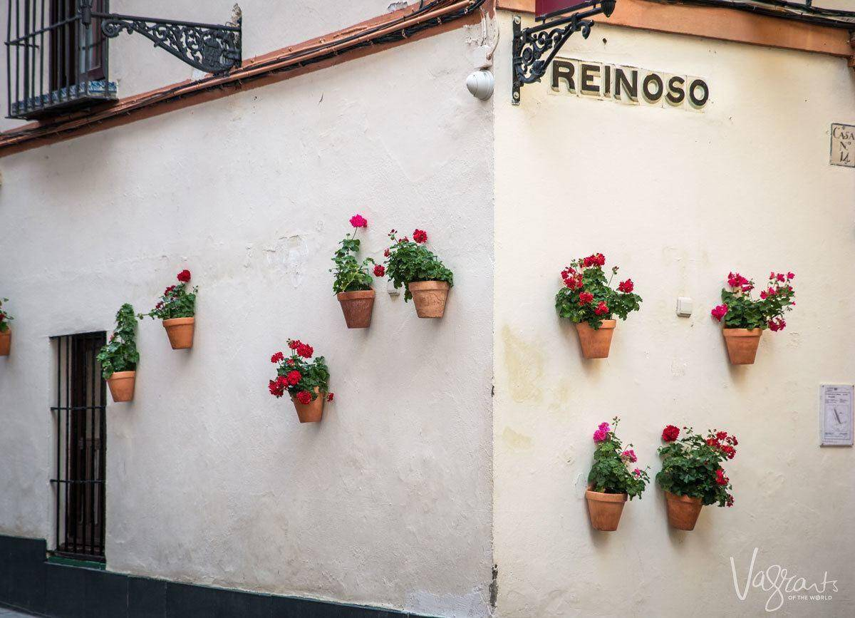 Flowering pots on Reinoso corner against whitewashed walls along a tour of the streets of Seville.