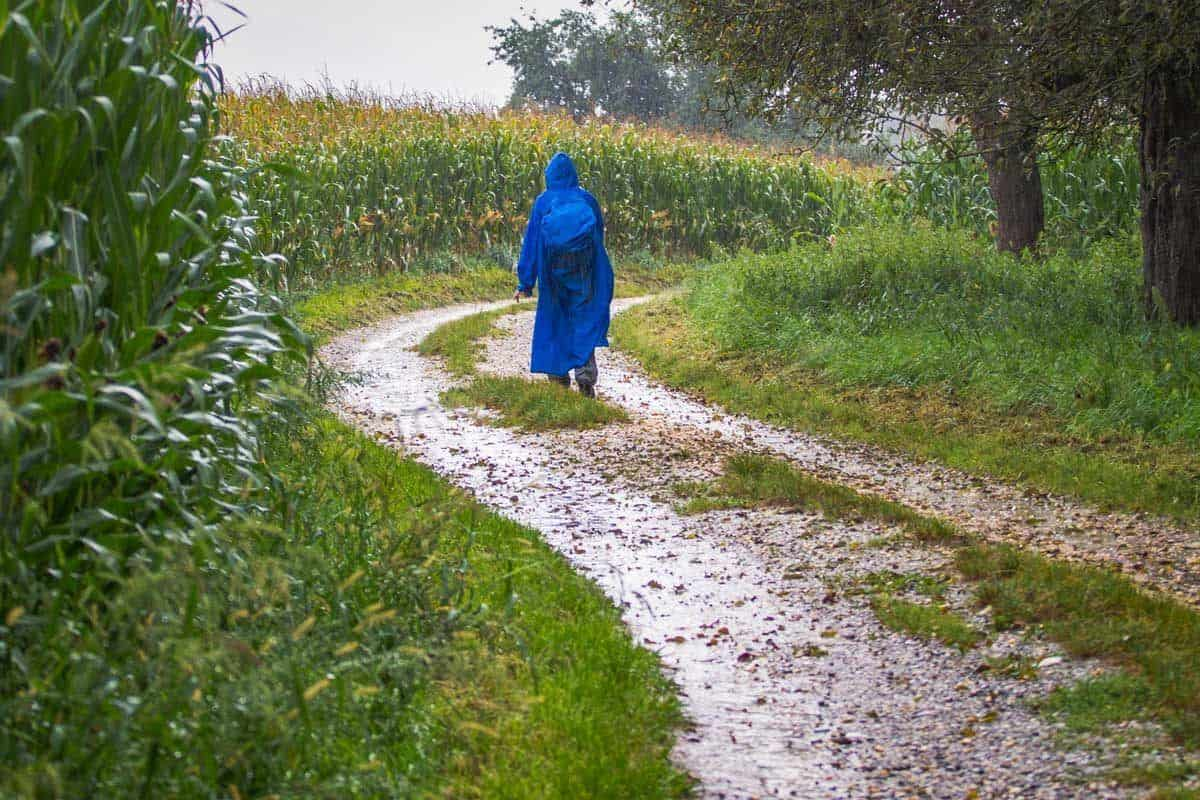 Hiker in a good quality blue raincoat walking next to corn fields.