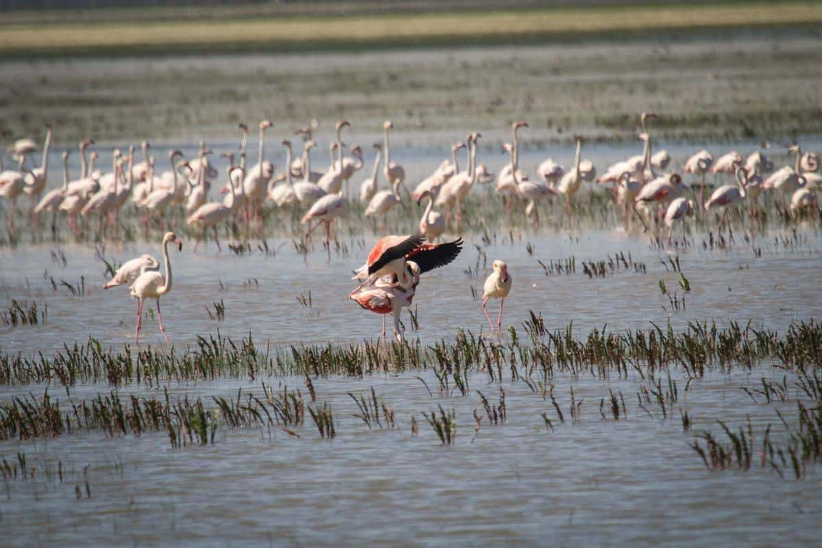 A large flock of pink flamingoes in wetland. Best things to see and do for free on Day Trips from Seville Donana National Park