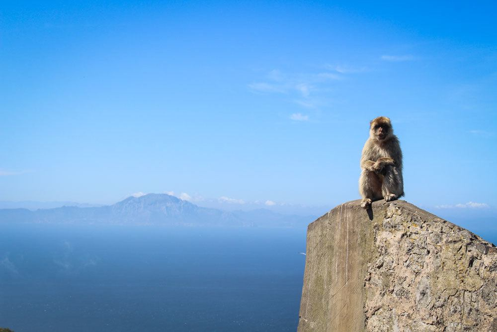 Barbary Macaques sitting on rock of Gibraltar. Add this to your Seville itinerary, a Day trip from Seville to Gibraltar