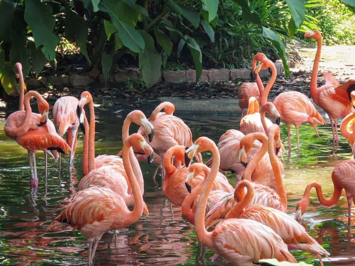 Group of pink flamingoes standing in a pond.