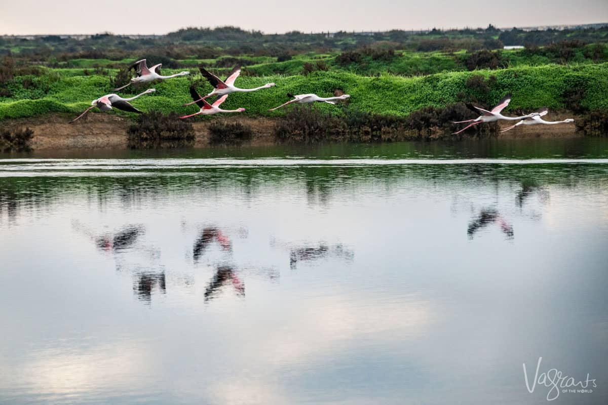 One of the best times to visit Europe is Spring for wildlife sightings like the migratory flamingos in the Algarve in southern Portugal