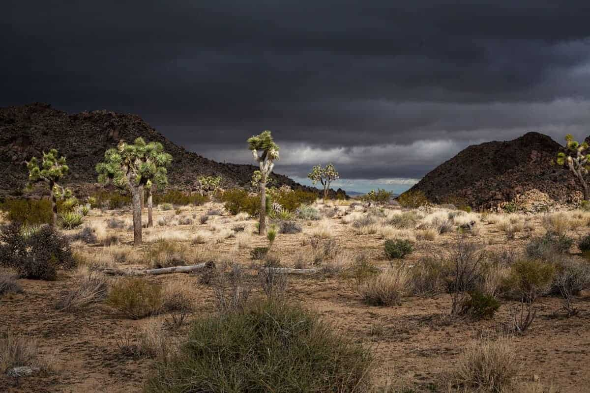 Joshua trees in the desert with stormy skies. Some of the best hikes in Joshua tree are short circular hikes accessible to all hiking abilities