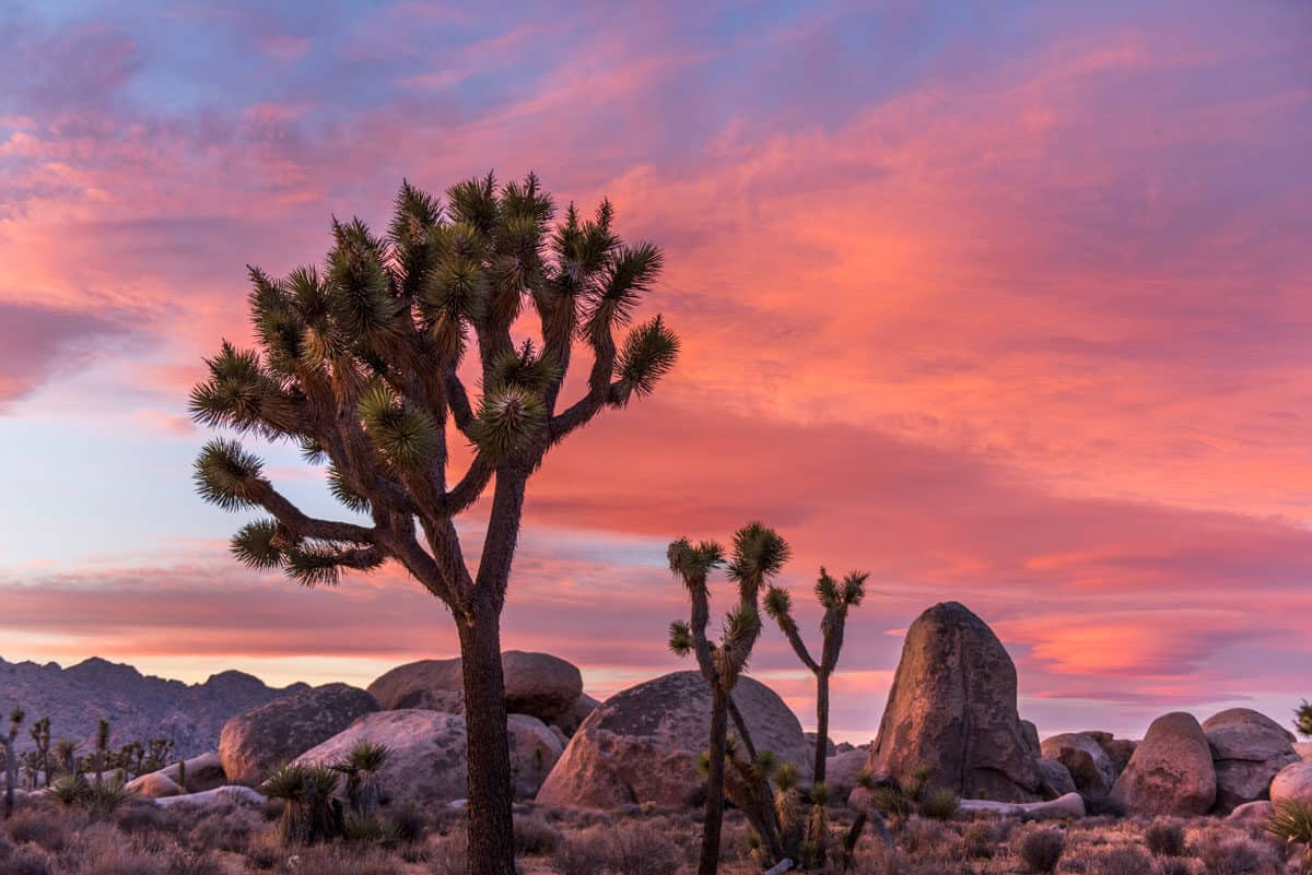 Joshua Trees and boulders against a pink sunset sky. Lost Horse Valley hike in Joshua tree National Park is fascinating for the nature and history of mining in the area.