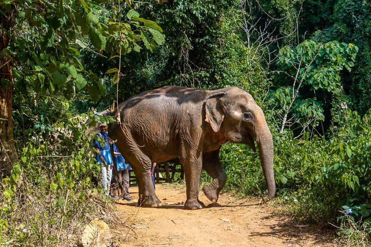 Elephants walking down a trail in the Elephant Nature Park Rescue in Chiang Mai Thailand.