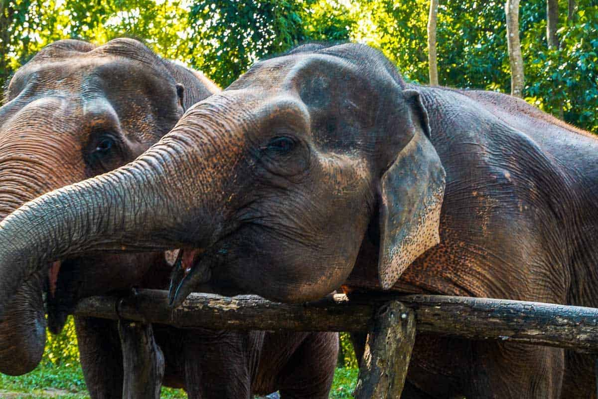 Large elephants with trunks etxended in the Elephant Nature Park Rescue in Chiang Mai Thailand