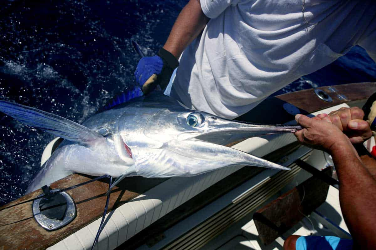 A deep sea sports fisherman pulling a marlin fish on board a charter from Fort Lauderdale.