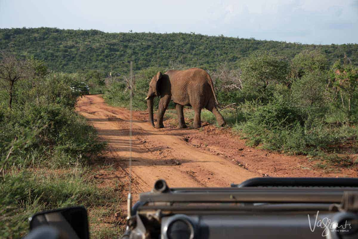 Elephant crossing the road in front of safari vehicle is a once in a lifetime experience which you can have on a Aquila Private Game Reserve safari day trip from Cape Town.