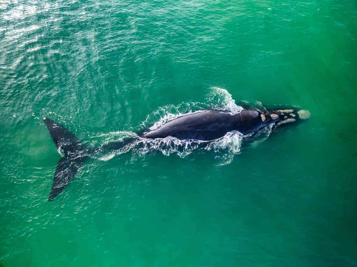 Southern Right whale in Hermanus harbour.