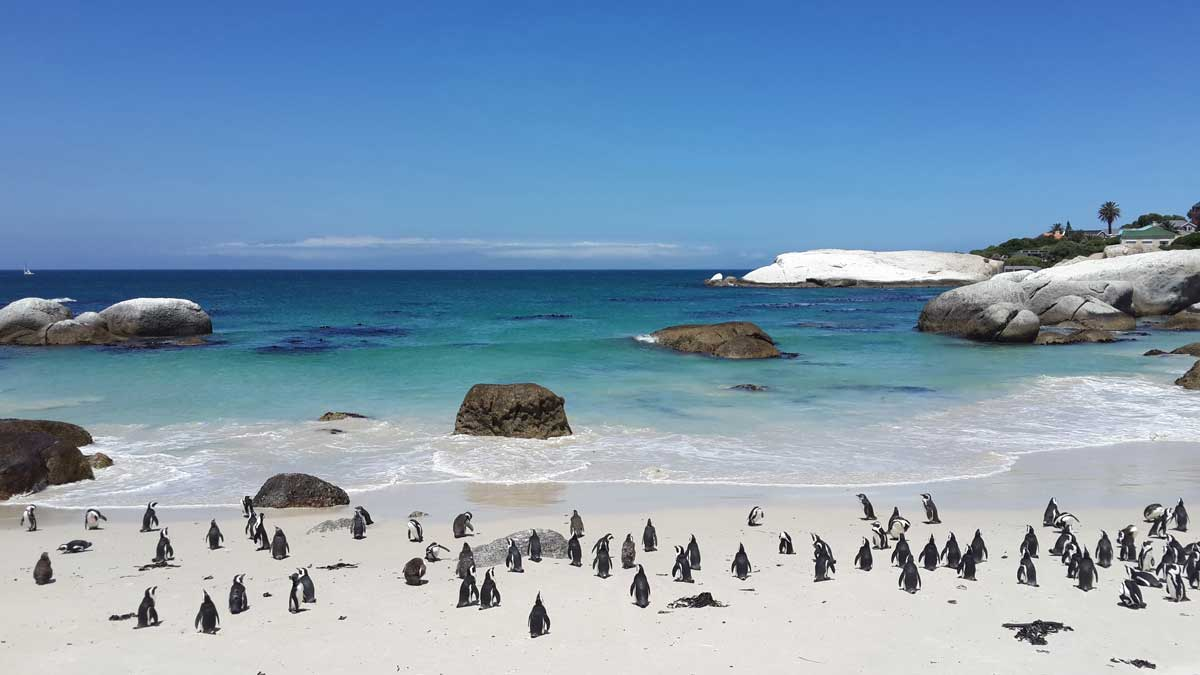 White sand and blue water of Boulders beach near Cape Town with groups of iconic yet endangered African Penguin.