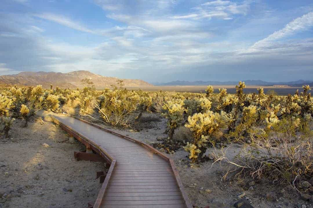 The chollo cactus garden walking platform.