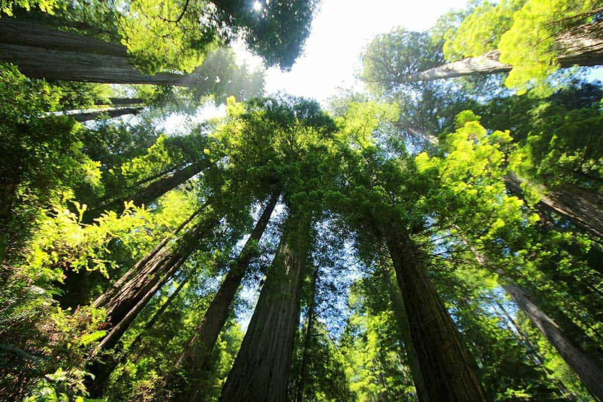 California Redwoods reaching to the sky with magnificent green canopy.