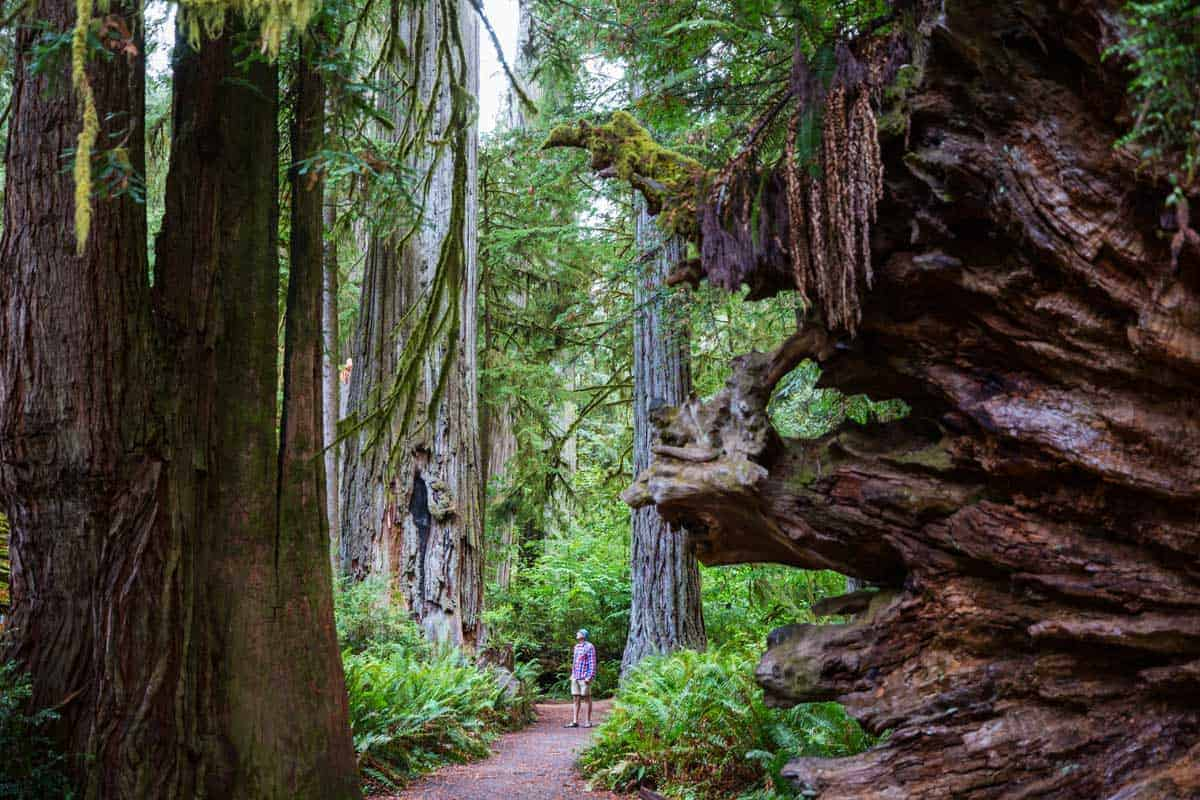 Man wandering along a path admiring the giant redwood trees in Northern California forest