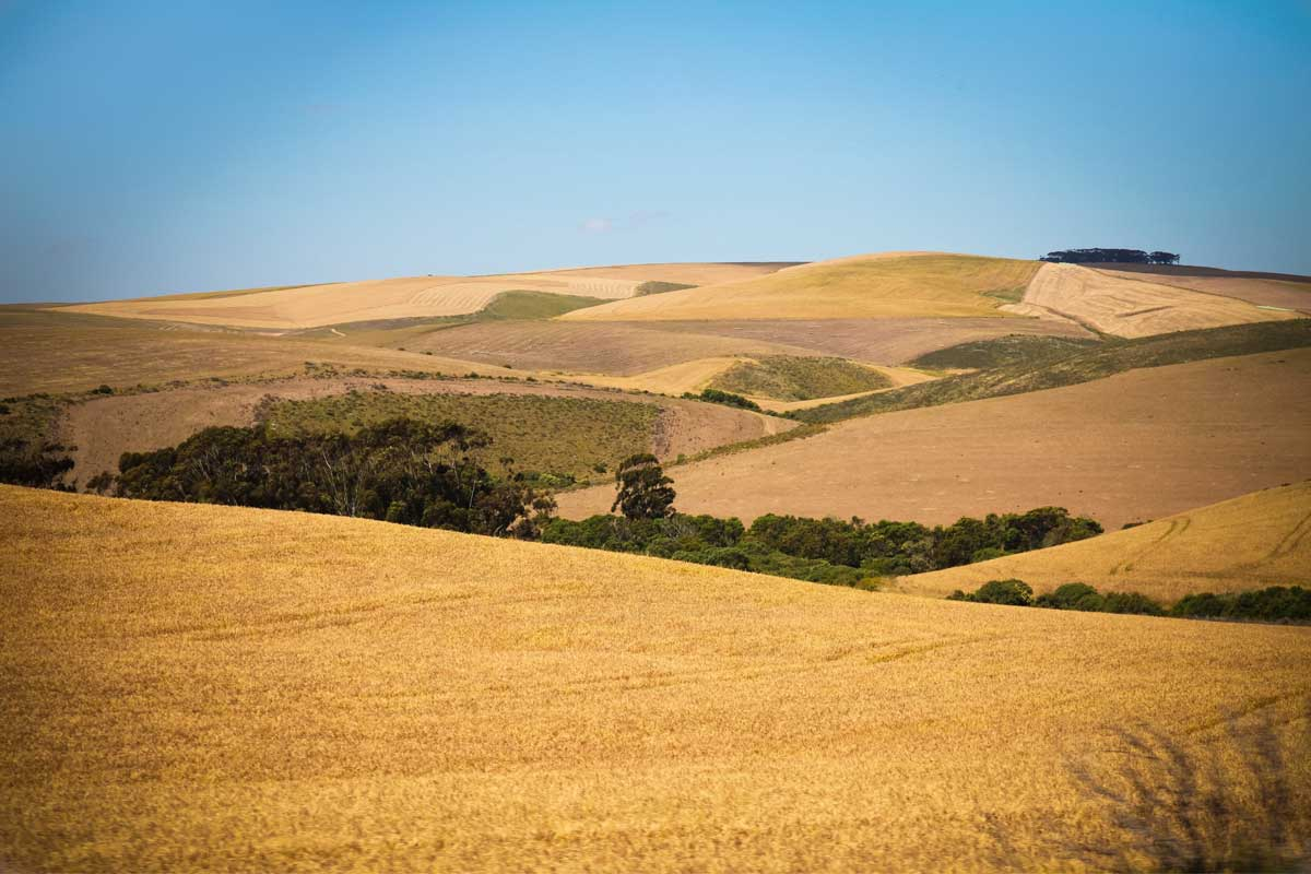 Golden plains of crops around Albertinia, Garden Route, South Africa.