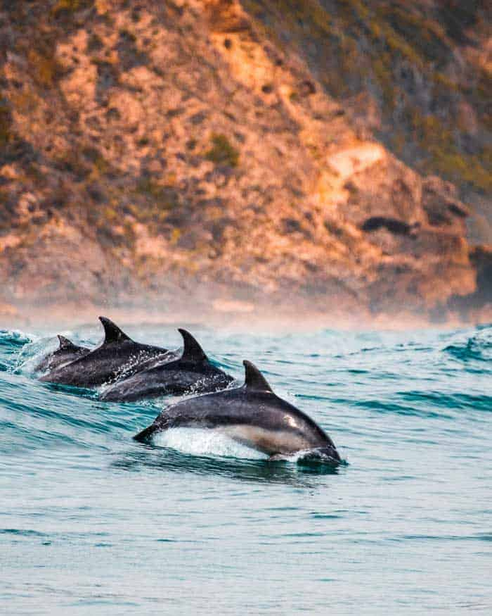 Four dolphins breaching in the waves at Knysna