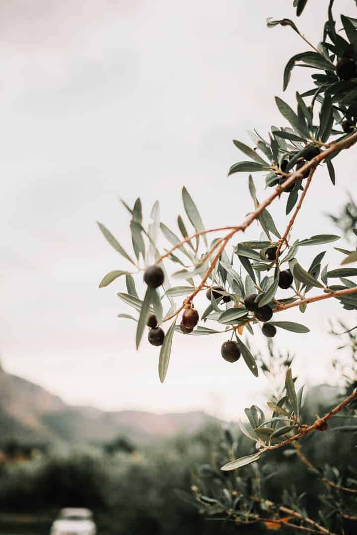 Olive tree with olives, everyones dream is sit under and olive tree sipping Italian wine and eating cheese.