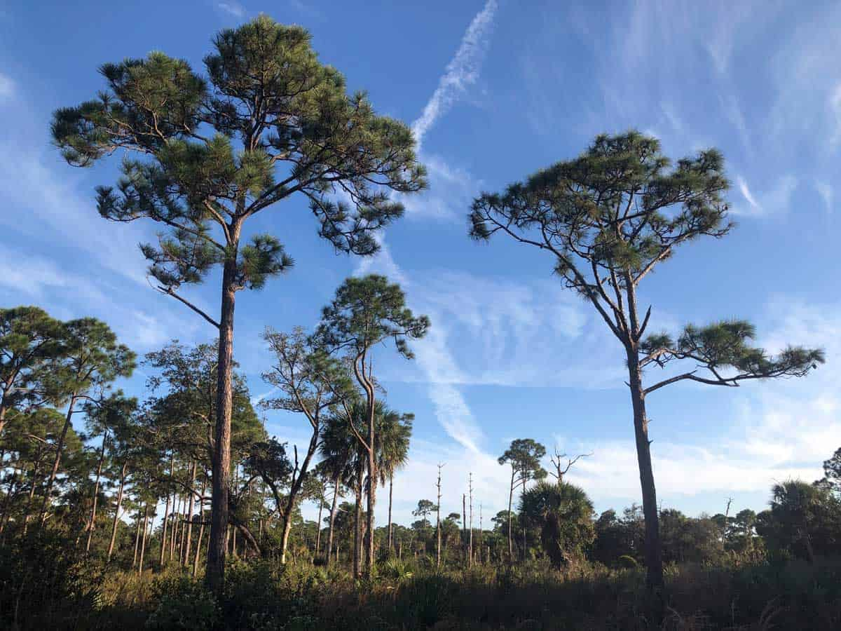 Landscape of pines and scrubby bush in Frenchman's Forest Palm Beach.
