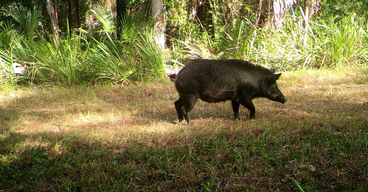 Black wild boar running through wilderness on the Hog Hammock Trail Florida