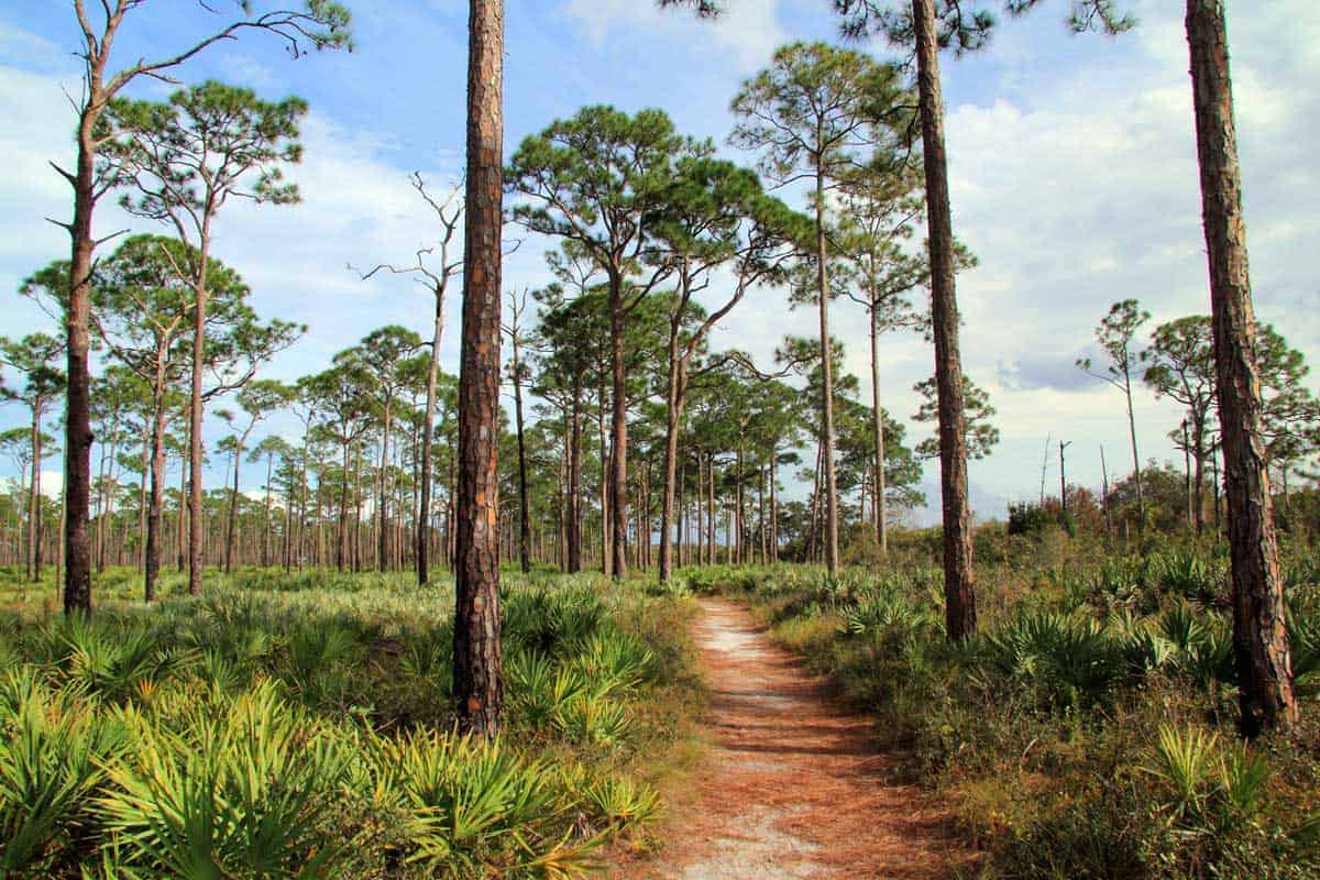 Hiking trail through low scrub land with tall trees in Jonathan Dickinson State Park.