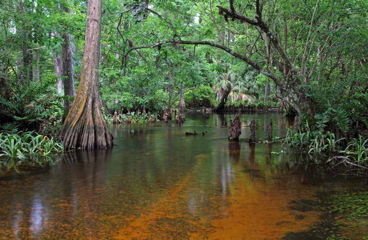 Swamp on the Loxahatchee River Florida.