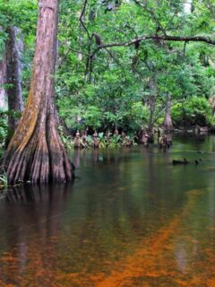 Swamp on the Loxahatchee River Florida.