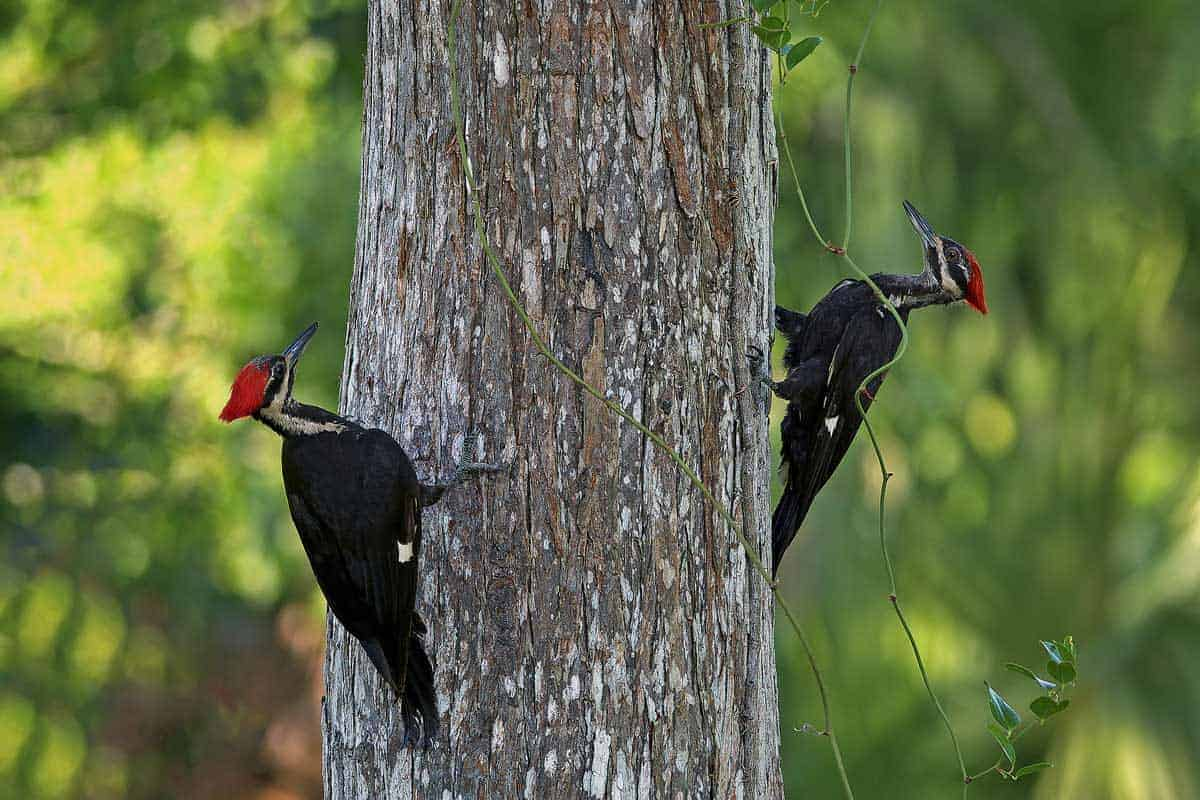 Two woodpeckers searching for food on the side of a tree trunk.