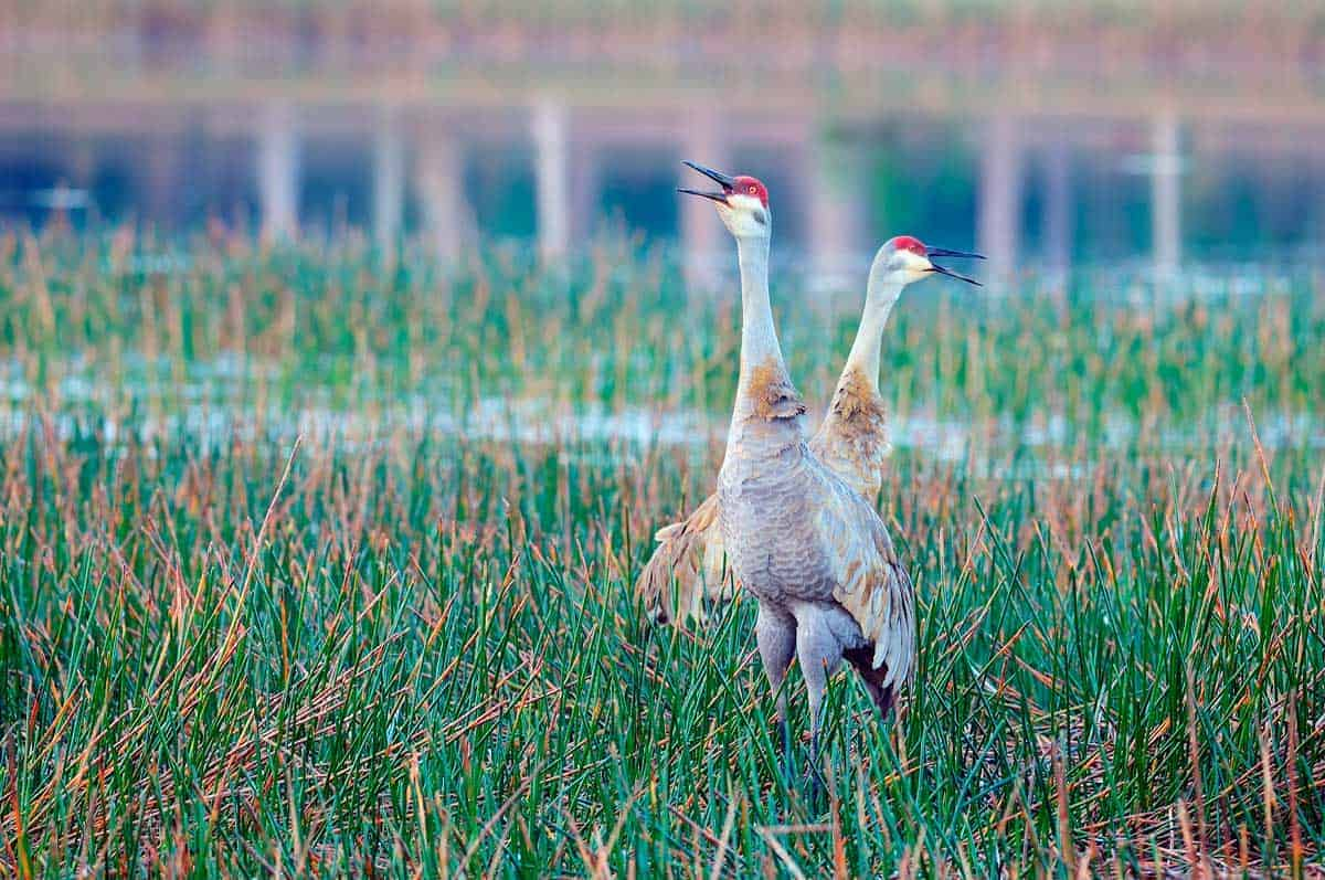 Two sandhill cranes posturing in wetlands.