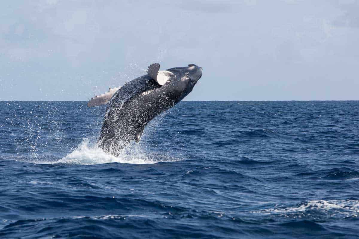 Whale breaching from the water in the Atlantic in Cape Cod.