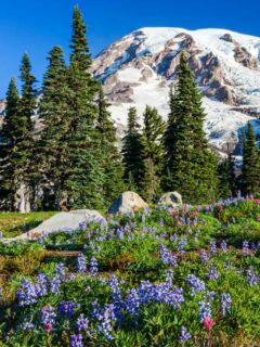Snow capped Mount Rainier with wildflowers in the foreground.