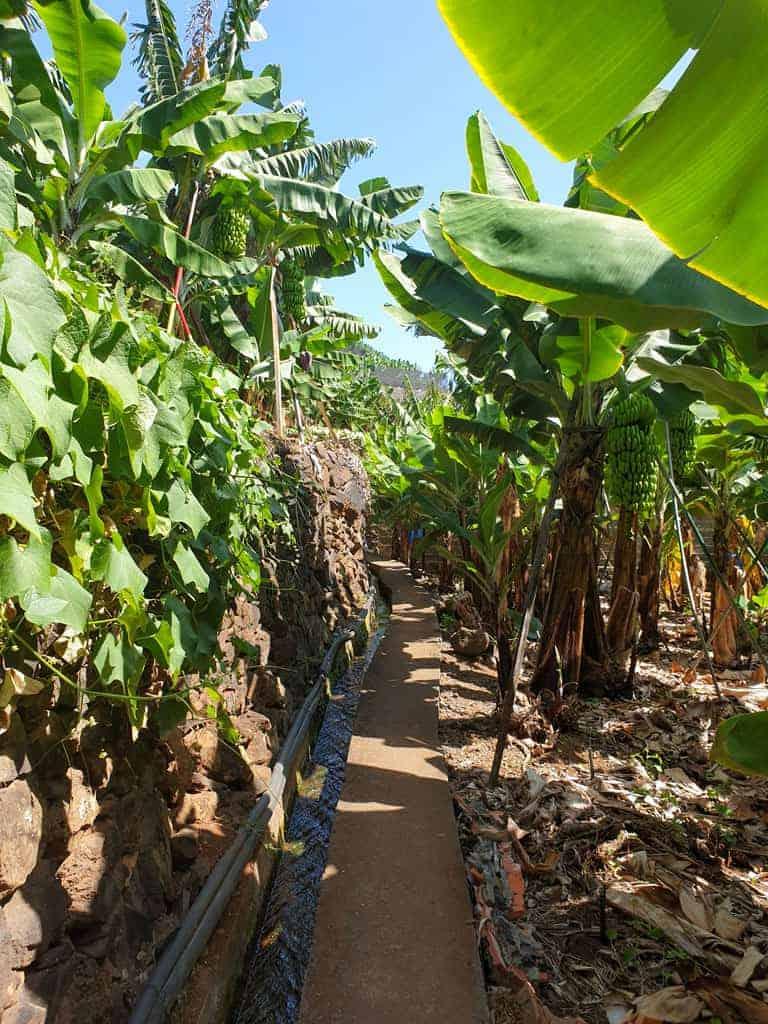 Walking trail though banana plantations on Madeira Island Portugal.