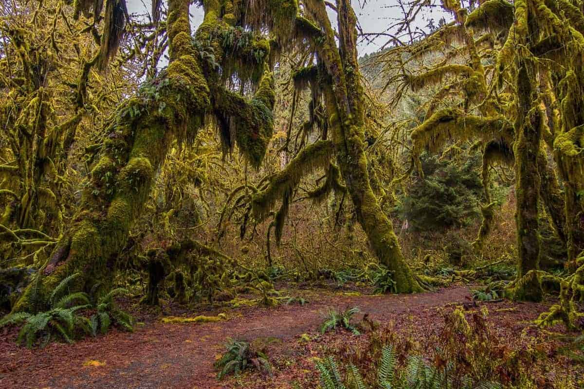 Moss covered forest in Olympic National Park.