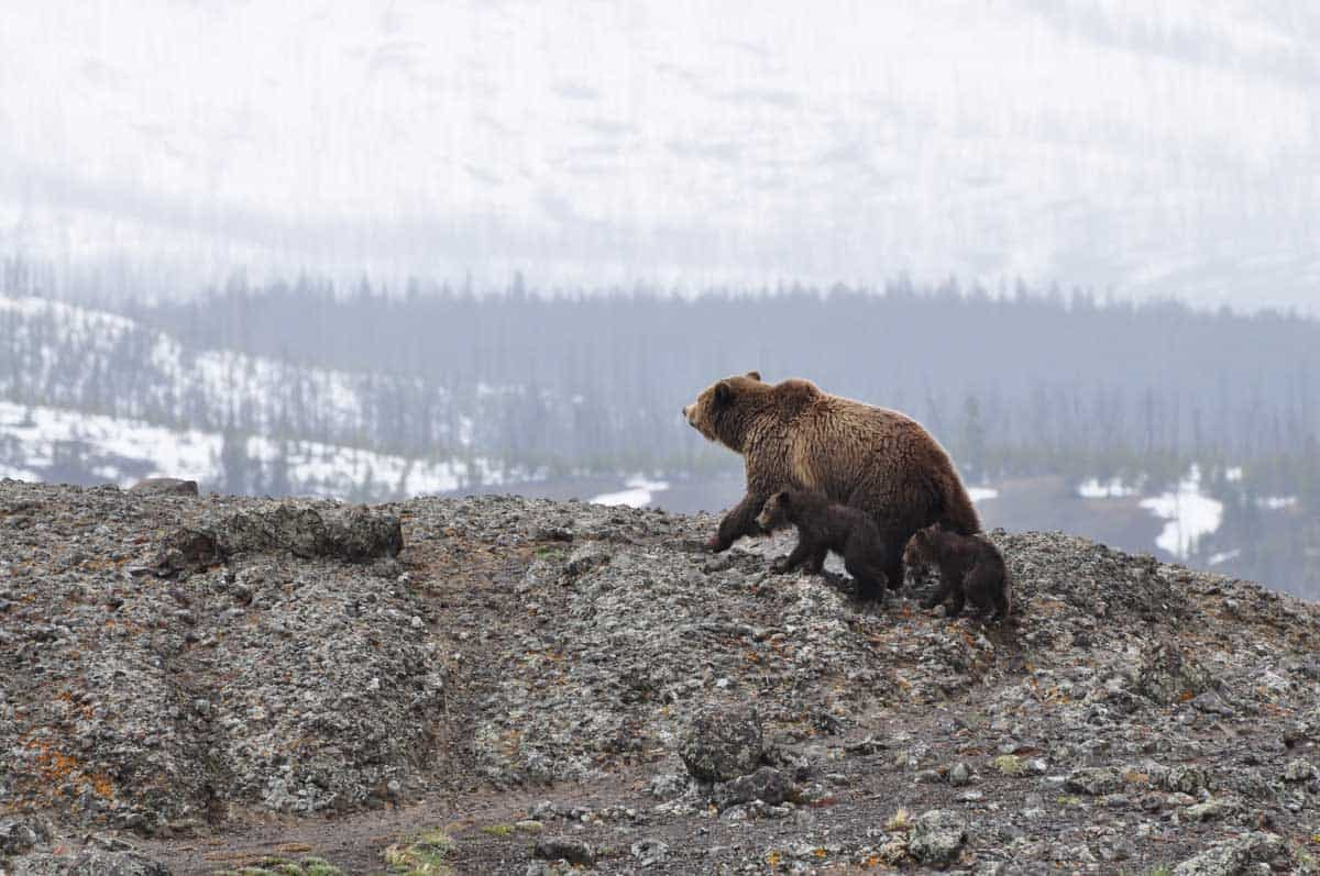 A family of bears in Yellowstone.