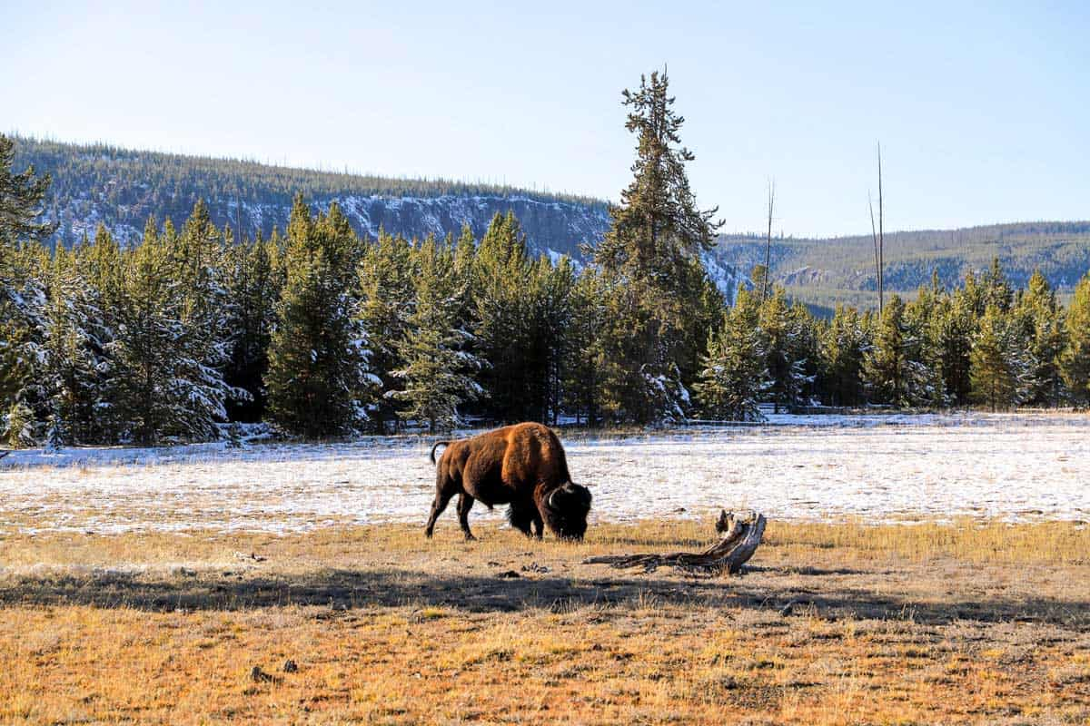 Bison eating brown grass in a snowy field in Yellowstone.