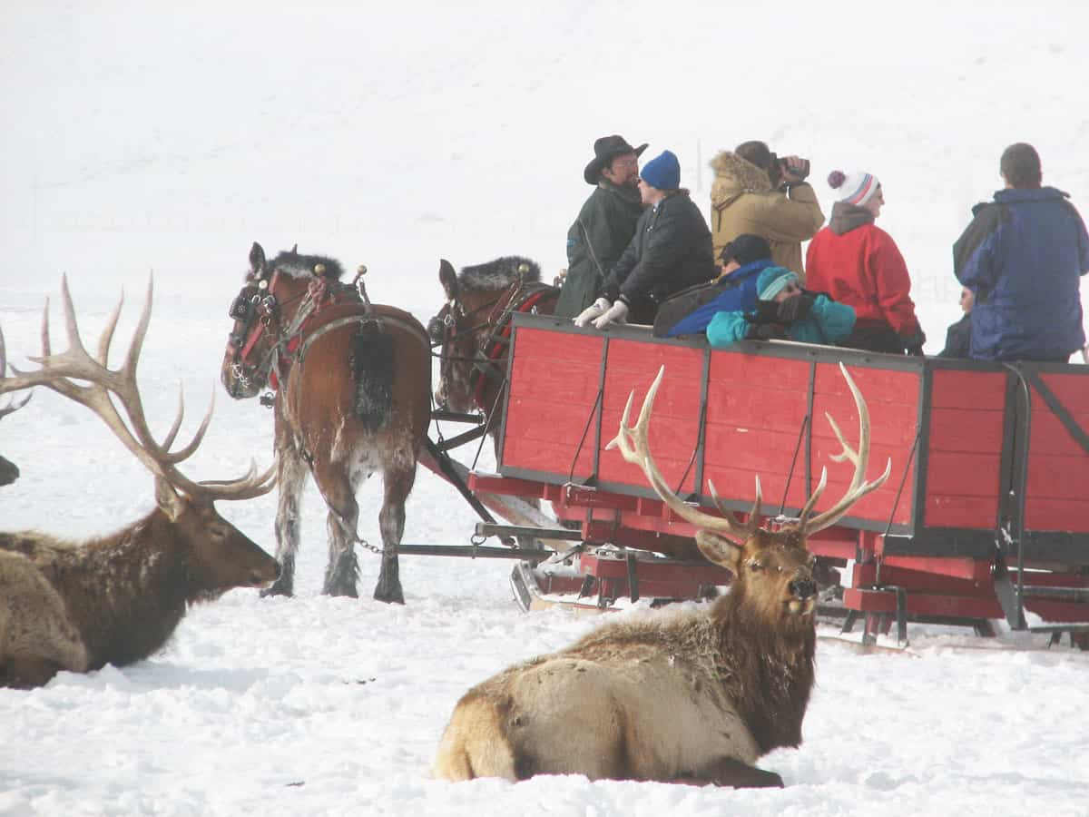 People sitting in a horse drawn sleigh in the snow looking at wild elk in Jackson hole Wyoming.