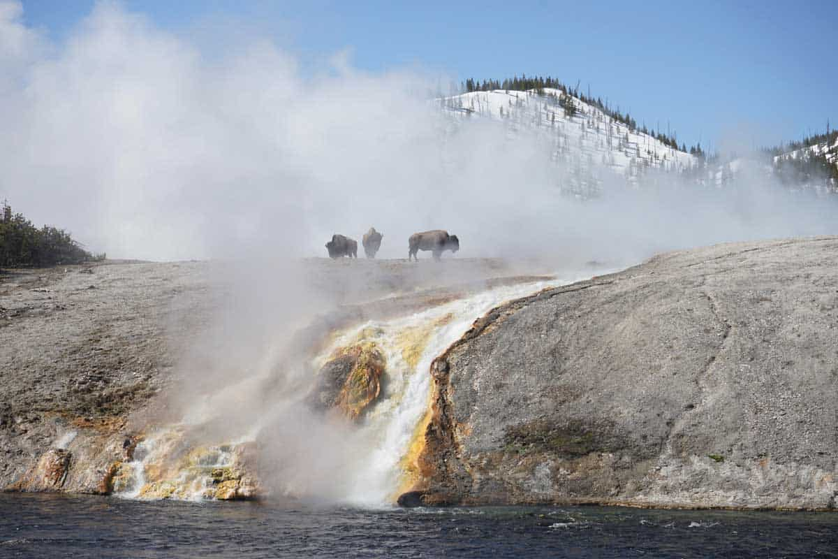 Bison walking through Yellowstone National park through the misty steam of the thermal springs.