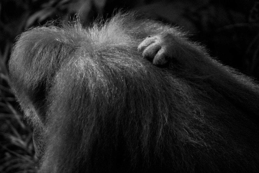 Orang utan's in Borneo