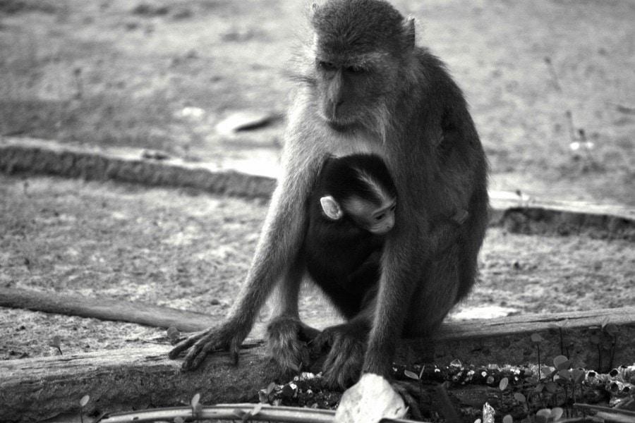 Macaque Monkey - Bako National Park Borneo