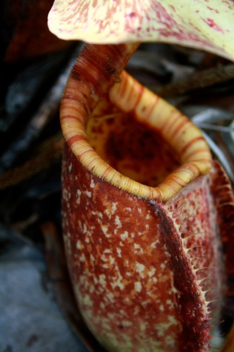 Pitcher Plant Bako National Park, Borneo