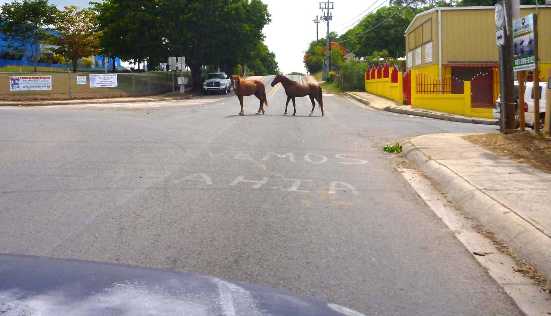 Horses on Road Vieques