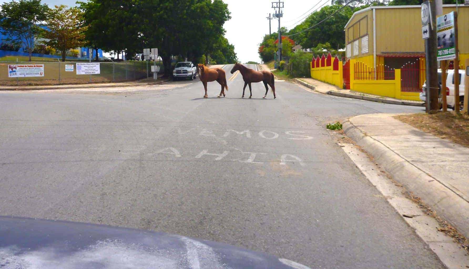 Vieques Island, Wild Horses